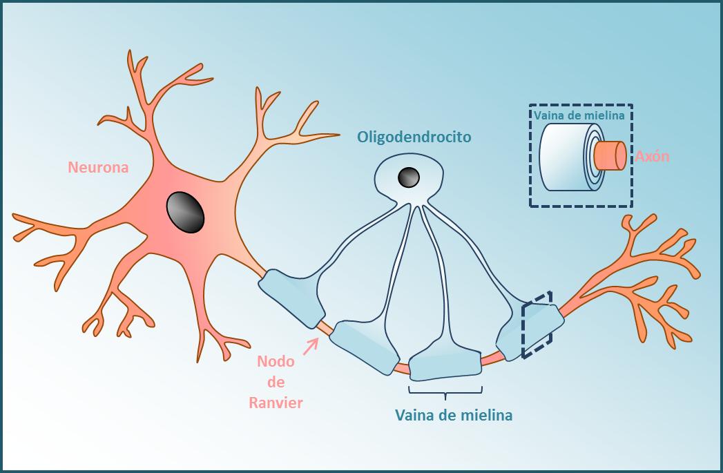 funcion de las axon