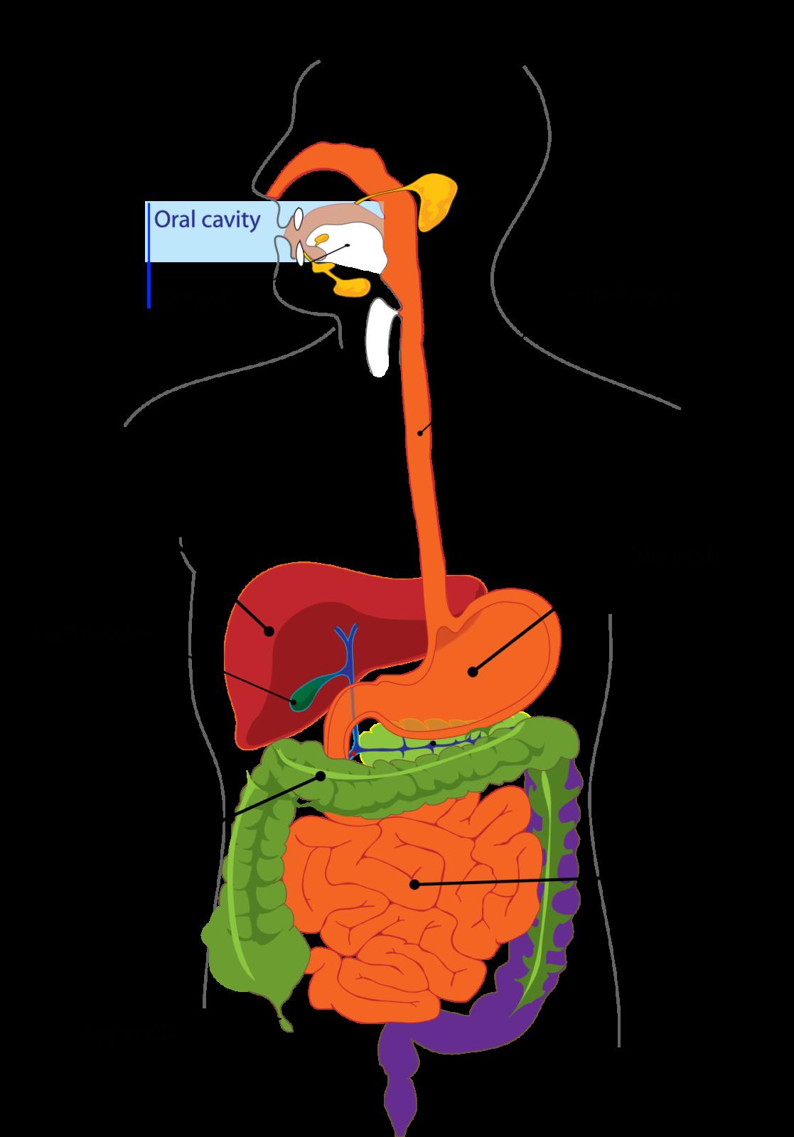el pancreas que es y su funcion